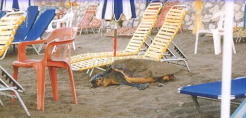 Turtle trapped amongst sunbeds, Zakynthos, Greece - (c) WWF Greece
