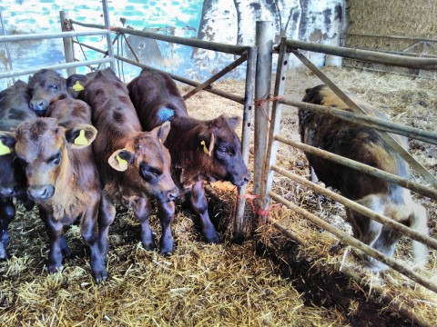 Agri-activism - cows