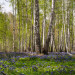 Siberian forest (c) Michael Chuv