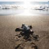 Baby turtle on Limni beach