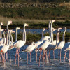 Flamingoes at Ulcinj Salina in Montenegro - (c) CZIP (BirdLife in Montenegro)