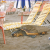Turtle trapped amongst sunbeds, Zakynthos, Greece - (c) WWF Greece