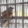 Malta bird trapping - Linnet in a cage - (c) BirdLife Malta